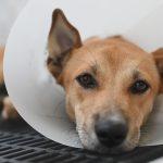Mastectomia em cadelas: O consenso atual de diagnóstico, prognóstico e tratamento